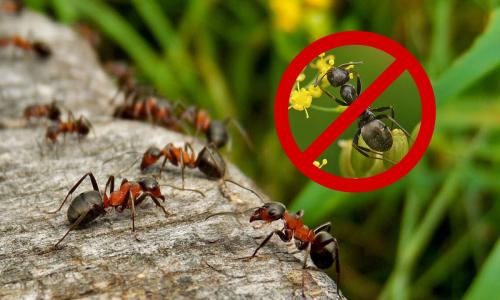 Как избавиться от муравьев и тли в огороде и саду: проверенные способы